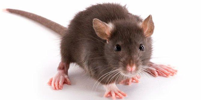Ampuh, 3 Bahan ini Bisa Usir Tikus dari Rumah Anda