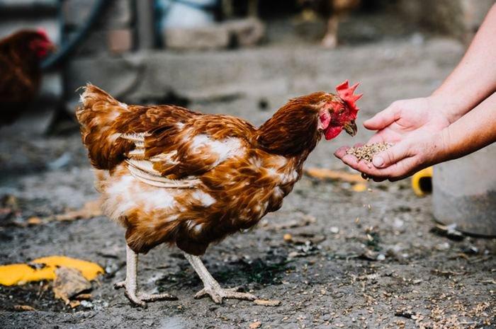 Bahayanya Pelihara Ayam Di Belakang Rumah Sebabkan Gangguan Saraf Hingga Peradangan Otak