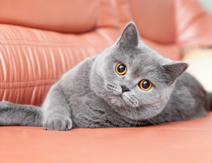 Hal Yang Harus Diketauhi Dari British Short Hair, Kucing Gembul Dan Bantet Yang Wajib Kamu Pelihara