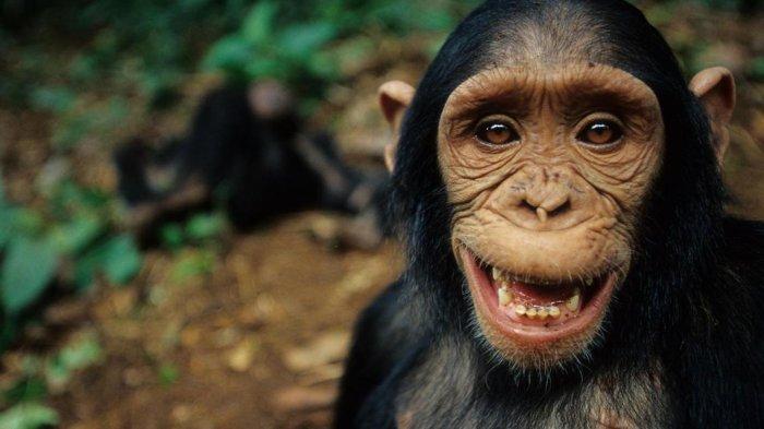 Simpanse Di Norwegia Ini Melukai Dirinya Sendiri Setelah Menenggak Narkoba Yang Diberikan Pengunjung